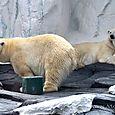 Polar Bears detail