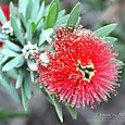Bottlebrush