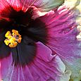 Rainbow Christie Hibiscus detail