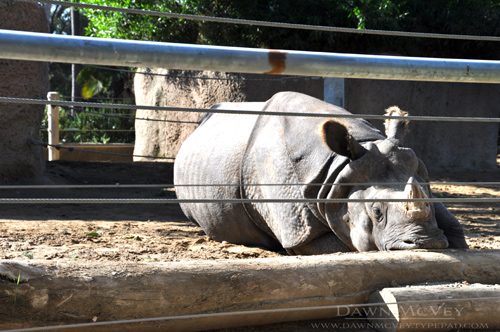San Diego Zoo Rhino