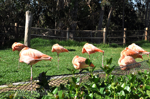 Sleeping Flamingos