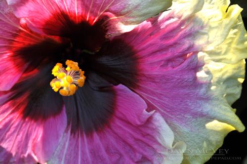 Rainbow Christie Hibiscus detail